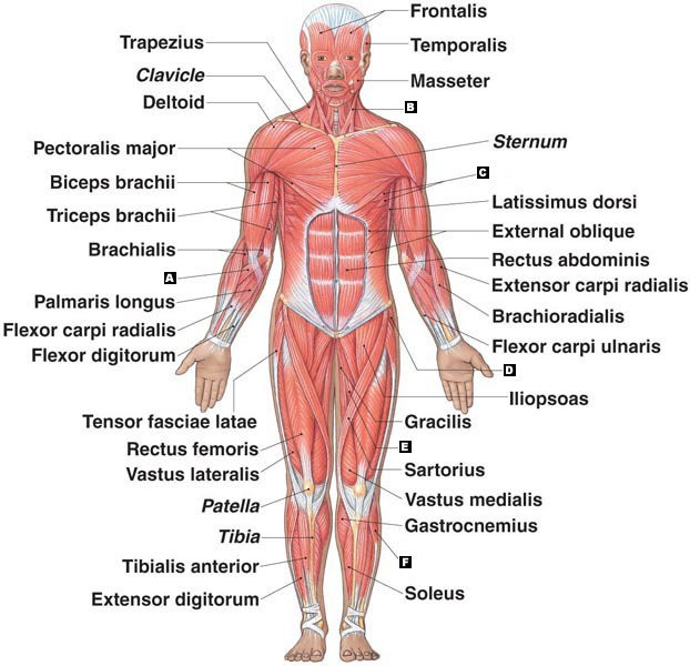 muscular system - roseanna q.'s accomplishments, Muscles